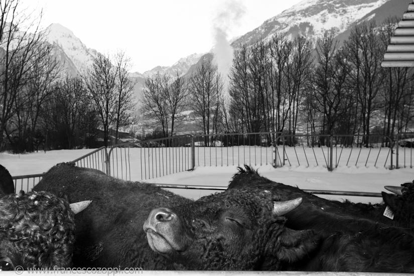 De la vache à la fontine
