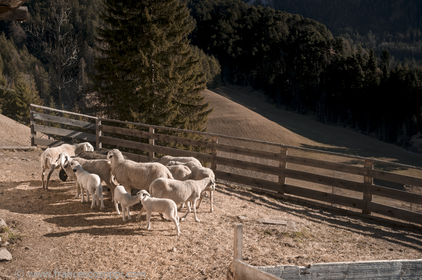 Val di Funes - Sheeps
