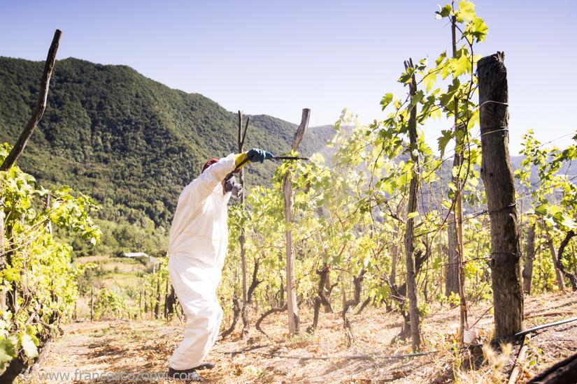 Bianchetta Genovese: diffusing copper green