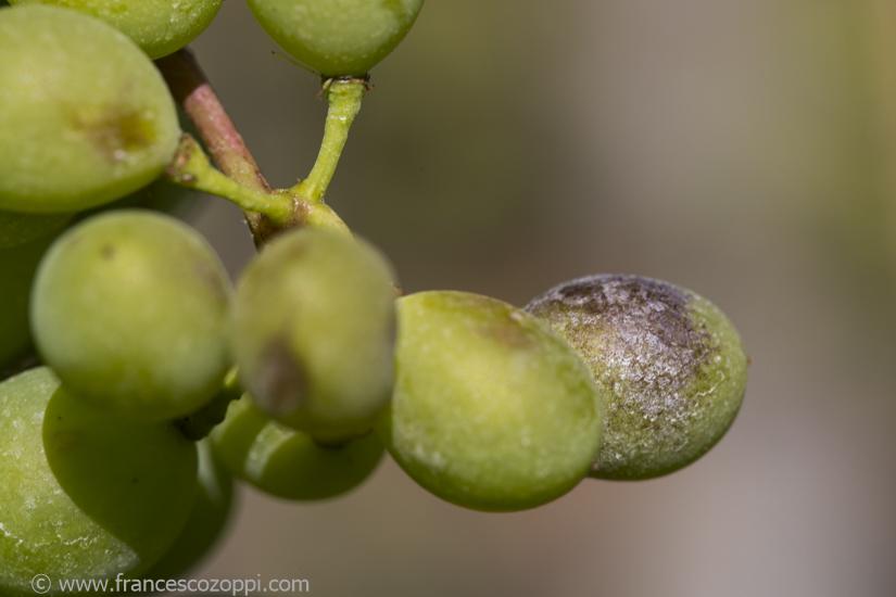 Bianchetta Genovese: Peronospora effect