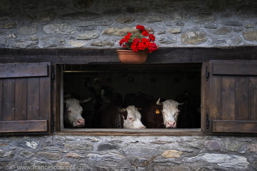 De la vache à la fontine: beauty cowshed